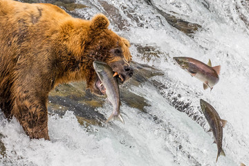Grizzly bear catching jumping salmon