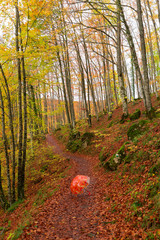 Selva de Irati , Navarra, Spain