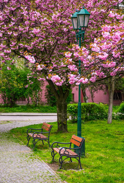 cherry blossom above the benches and lantern in the city park. beautiful springtime scenery