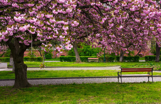 cherry blossom above the benches in the park. lovely springtime background
