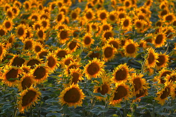 Field of sunflowers against backlight
