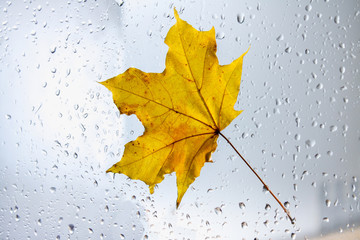 Yellow autumn maple leaf on a rainy window. The concept of Fall seasons.