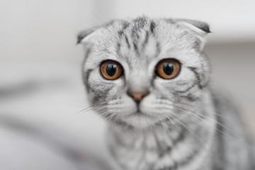 beautiful striped cat, Scottish Fold, gray cat