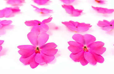 the flowers of Impatiens