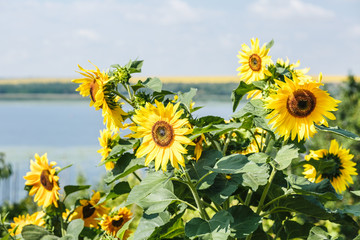 Several sunflowers on sunny day