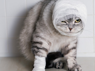 A domestic cat with a bandage. A wound on the head and paw.