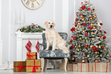 beautiful golden retriever dog posing indoors for Christmas