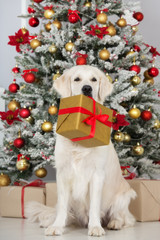 beautiful golden retriever dog sitting in front of a christmas tree holding a gift box in mouth