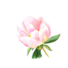 Watercolor illustration of pink peony, isolated object on white