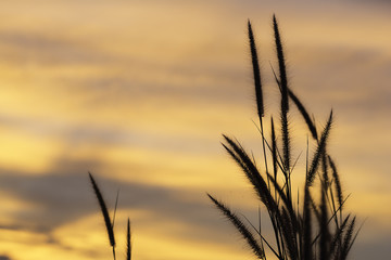 Grass flowers with twilight