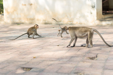 adults monkey chasing a little monkey