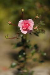 キレイなバラ