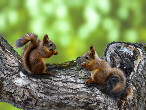two red squirrels on the tree with a hollow eat nuts or seeds. The squirrels in the forest or in the Park on a green background.