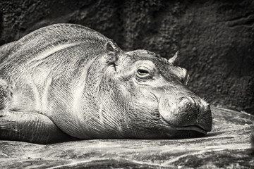 Hippo - Hippopotamus amphibius resting near the water, colorless