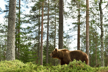 Bear walking in the forest at summer. Bear in forest environment.