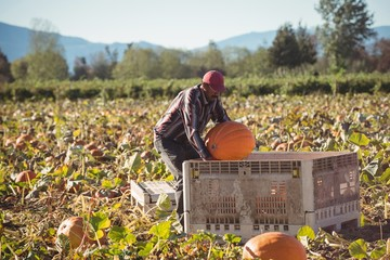 Farmer working in pumpkin field