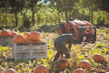 Farmer working in pumpkin field
