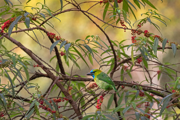 Golden-naped Barbet bird in green azure blue perching on Orange wild Rhea tree at Kinabalu Park Malaysia