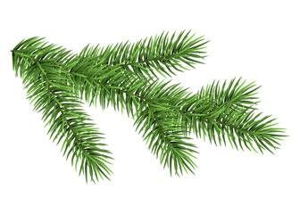 Green fir branch.