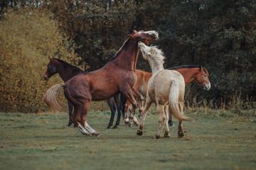 Fighting horses in the herd