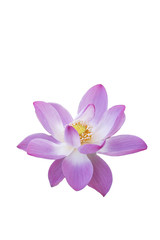Bright colored lotus on a white background.