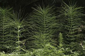 Ackerschachtelhalm oder Zinnkraut, Equisetum arvense, Gegenlicht