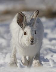 Snowshoe hare (Lepus americanus) running in the winter snow in Canada