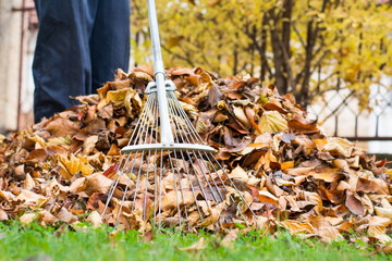 Man cleaning fallen autumn leaves in the yard