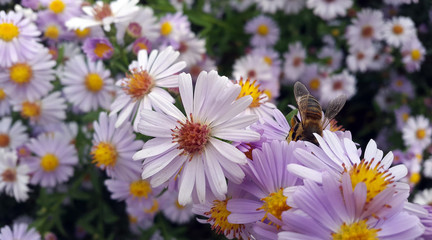 Michaelmas Daisy flowers and bee collecting pollen in the garden on sunny day close up