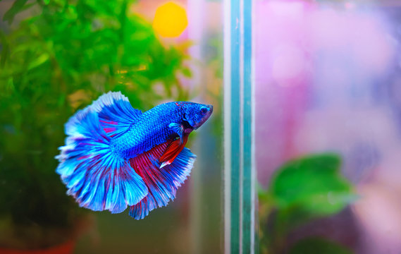 blue and red of fighting fish in aquarium