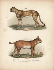 Old illustration of animals.
