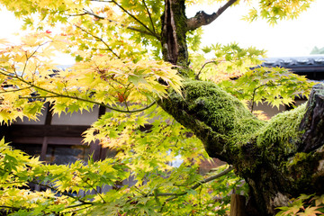 Moss grows on a large old tree branch / An old tree in the temple of Japan