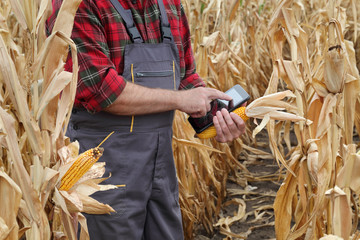 Farmer or agronomist examining corn plant in field using tablet, harvest time
