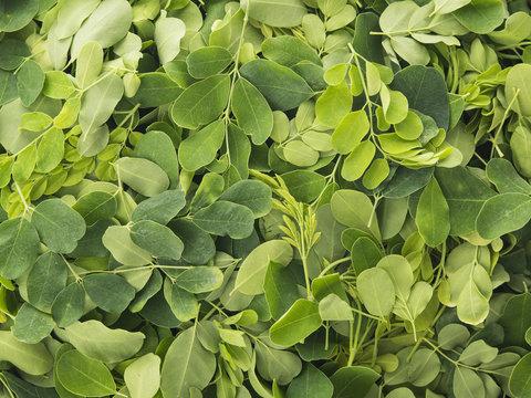 Close up of Fresh Organic Moringa Leaves