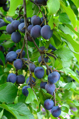 Ripe plums on the branch