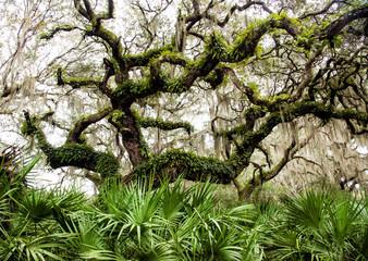 Live Oak, Resurrection Ferns, and Saw Palmettos on Cumberland Island, Georgia