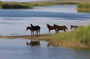 A herd of horses,the lake and reeds.