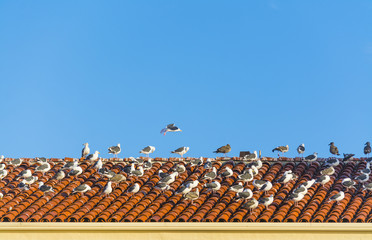 Group of seagulls on a tiled roof