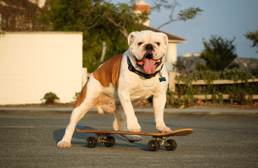 English Bulldog outdoor portrait standing on skateboard in street