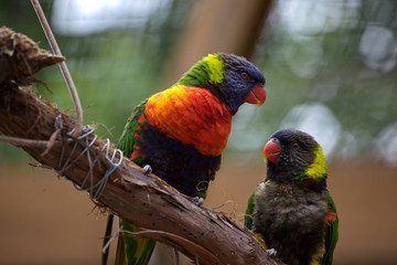 Perched Lorikeets