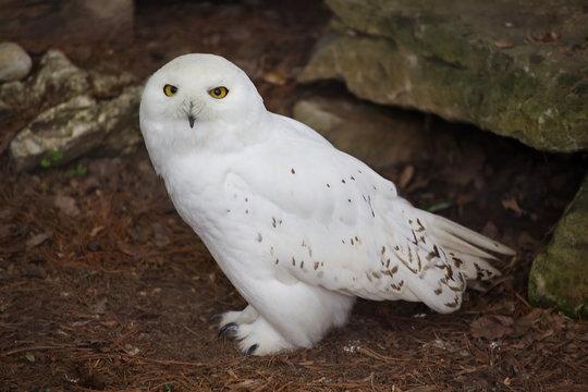 Adult Male Snowy Owl