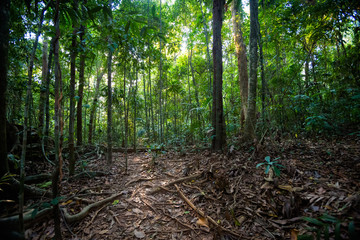 Old trees Sayai Koh Kood