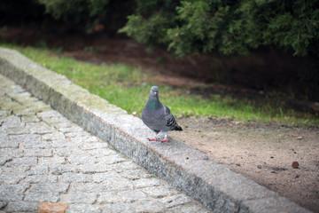 common grey pigeon near green grass