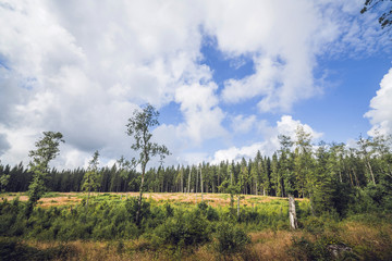 Forest clearing surrounded by tall pine trees