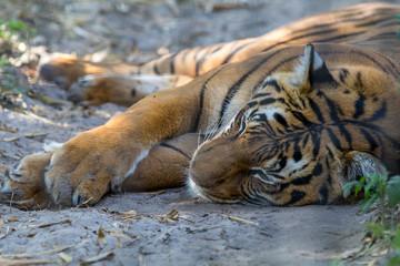 Sleeping tiger at the zoo