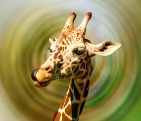 Beautiful giraffe - portrait