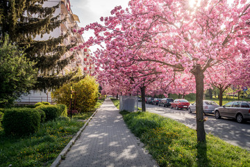Scenic Springtime View of a City road Lined by Beautiful Sakura Trees in Blossom
