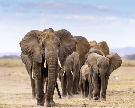 Elephant herd walking directly toward camera