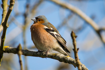 Chaffinch looking chunky on a branch