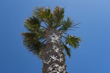 Palmenkopf
